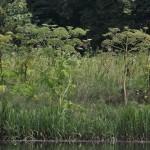 Riesen-Bärenklau richtig bekämpfen: Hautkontakt unbedingt vermeiden