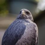 Greifvögel Thema beim Stammtisch im Seniorentreff