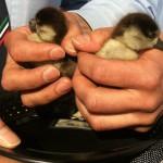 Tierischer Rettungseinsatz für die Polizei: Beamte retten Enten-Waisen