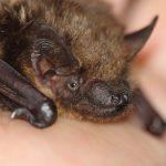 Fledermäuse unter Schutz:  Beim Bauen auf seltene Tiere achten