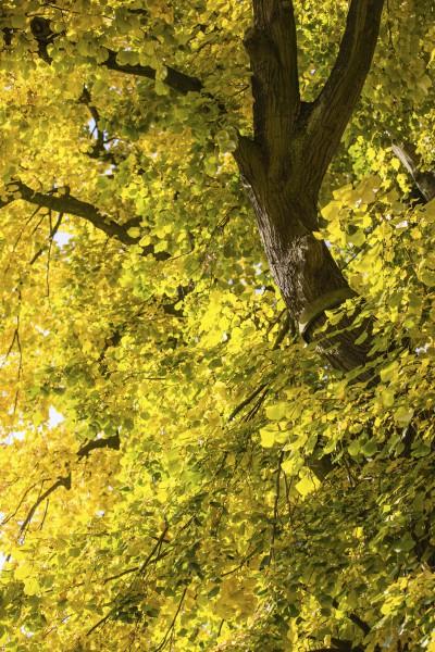 Die CDU will  Bäume auf privaten Grundstücken nicht mehr schützen. Auch Ausgleichspflanzungen  sollen nach einer Baumfällung nicht mehr nötig sein. (Foto: Peter Gräber)
