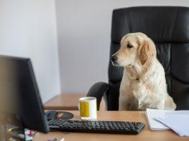 Viele Unternehmen erlauben mittlerweile Hunde am Arbeitsplatz. (Foto: UNIQ)
