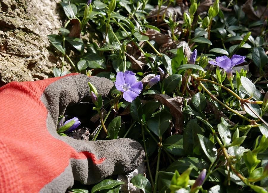 Bodendecker mit unterschiedlichen Blütenfarben sind monotonen Schotterwüsten vorzuziehen, rät der Kreis Unna. (Foto: Birgit Kalle – Kreis Unna)