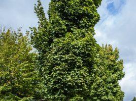 Die Gemeinde will künftig den Baumschutz auf ptrivaten grundstücken abschaffen, Die Bürger sollen nach eigenem Gutdünken Bäume fällen können. (Foto: P. Gräber - Emscherblog.de)