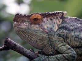 Auch dieses Chamäleon zählt zu den exotische Haustieren, die im Kreis Unna gehalten werden. (Foto: Peter Driesch – Kreis Unna)
