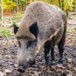 Veterinärbehörde: Größte Vorsicht bester Schutz vor Afrikanischer Schweinepest