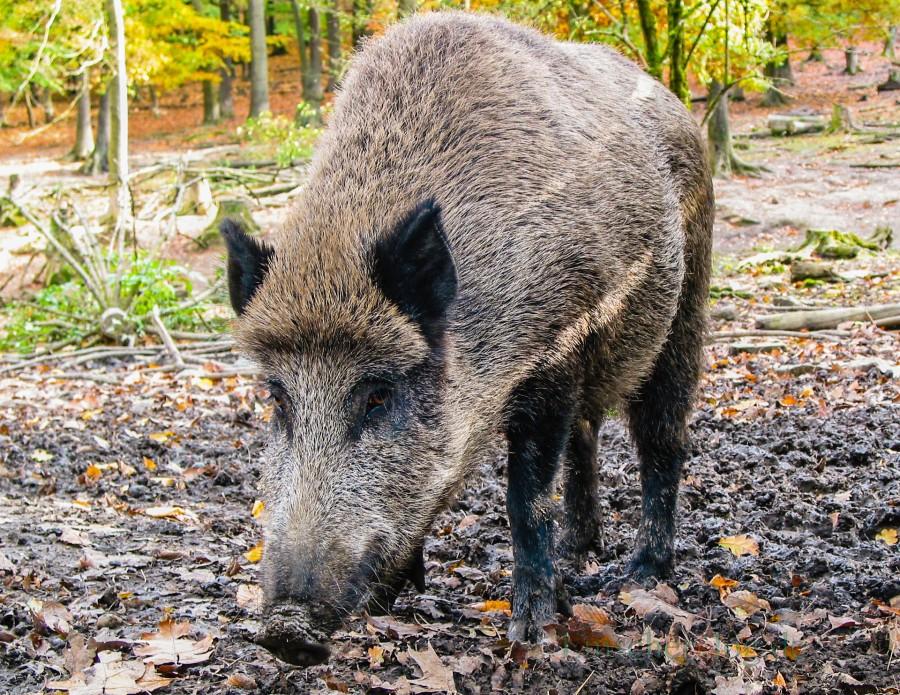 Wildschweine dürfen ab sofort ganzjährig bejagt werden. (Foto:P. Gräber - Emscherblog.de)