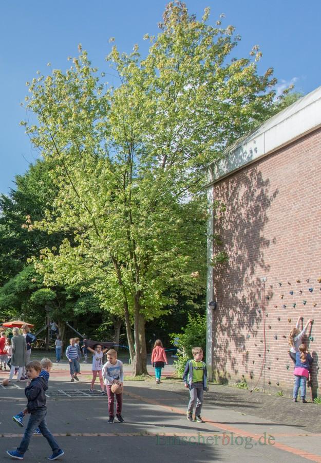 Auch dieser mehrstämmige Ahornbaum in der Dudenrothschule muss gefällt werden: Das Wurzelwerk des Baumes beschädigt die Kanalisation und hebt die Tartanbahn auf dem Schulhof. (Foto: P. Gräber - Emscherblog.de)