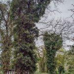 Immergrüner Efeu schützt Bäume vor Sonnenbrand