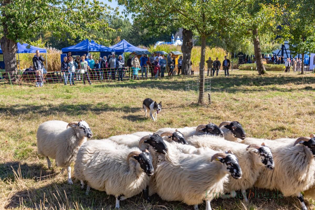 Beim Herbstfest auf dem Emscherquellhof konnten die Besucher auch einen Hütehund bei der Arbeit mit einer Schafherde beobachten. (Foto: P. Gräber  - Emscherblog.de)