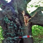 150 Jahre alte Eiche im Park stark beschädigt: Rückschnitt nötig