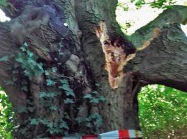 Die alte Eiche am Standort des ehemaligen Haus Dudenroth ist durch starken Wind am beschädigt worden. (Foto: Gemeinde Holzwickede)
