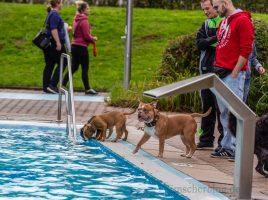 Hundehalter aus Nah und Fern trafen sich am Wochenende zum Hundeschwimmen im Freibad Schöne Flöte. (Foto: P. Gräber - Emscherblog.de)