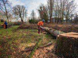 Die sechs Bäume im Baufeld der geplanten Kindertagesstätte im Emscherpark sind heute gefällt worden. (Foto: P. Gräber - Emscherblog.de)