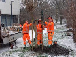 Die Mitarbeiter des Baubetriebshofes sind derzeit dabei, insgesamt 46 neue Bäume im Gemeindegebiet zu pflanzen. (Foto: Gemeinde Holzwickede)