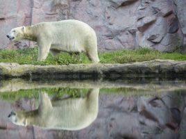 Der DRK Kreisverband lädt ein: Der Eisbär und viele weitere Tiere können im Gelsenkirchener ZOOM hautnah erlebt werden. (Foto: P. Gräber - Emscherblog)