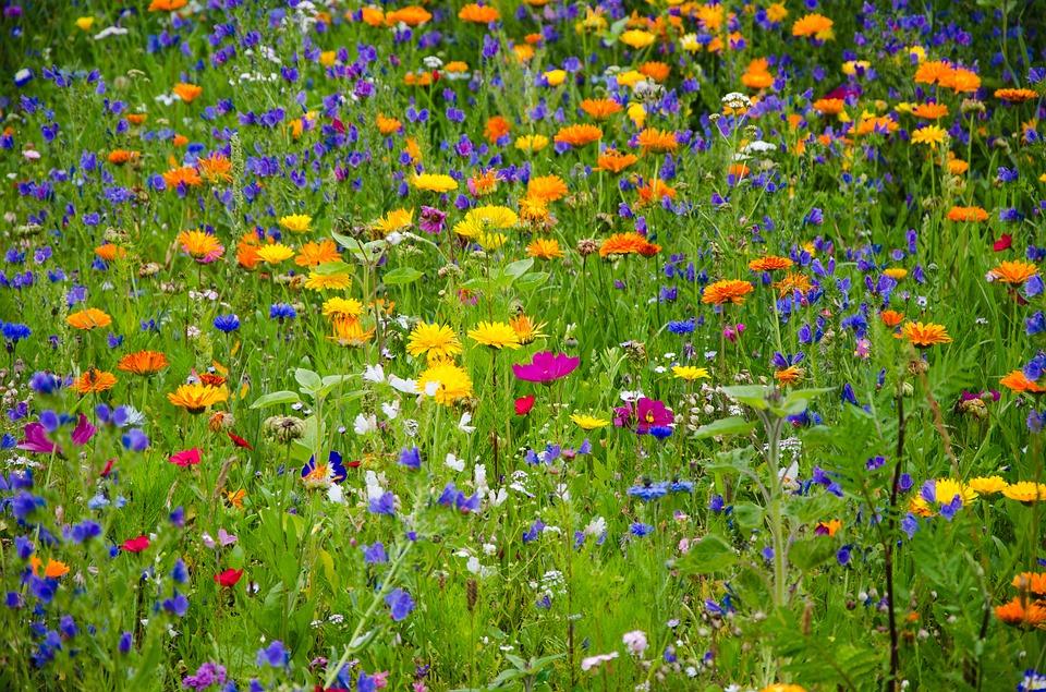 Attraktive Wildblumenwiese wie diese sind auch ökologisch wertvoll und bieten gleich mehrere Vorteile. Der Baubetriebshof hat jetzt mit der Einsaat von insektenfreundlichen Wildblumen auf weiteren Flächen im Gemeindegebiet begonnen. (Foto: Pixabay)