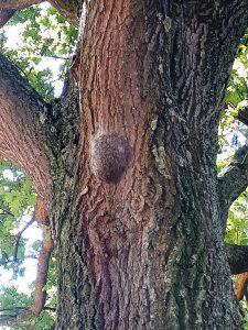 So sehen die an einem Baum klebenden Nester der Eichen-Prozessionsspinnerraupen aus. (Foto: Gemeinde Holzwickede)