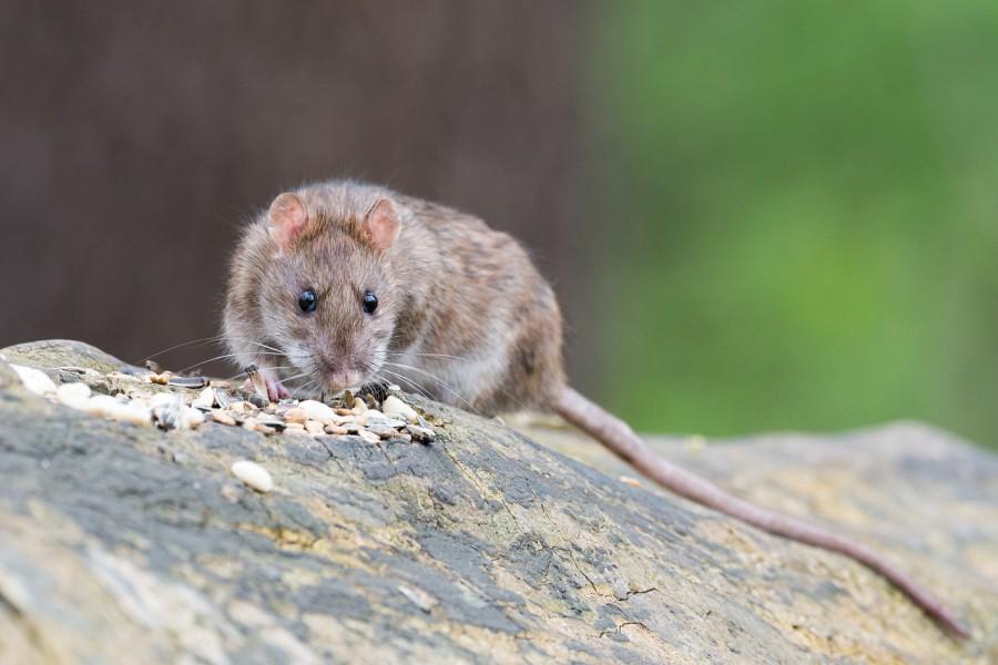 Die Gemeindeverwaltung gibt Tipps zur Rattenbekämpfung: Die Wanderratte (Bild) schätzt vor allem Speisereste.  (Foto: Wolfgang Vogt - Pixabay)