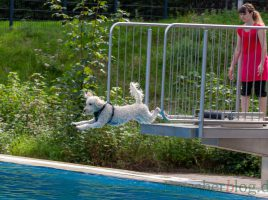 Beim Hundeschwimmen im Freibad Schöne Flöte waren manche Vierbeiner auf der Jagd nach dem Ball oder Schwimmtier kaum zu bremsen. (Foto: P. Gräber - Emscherblog.de)