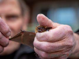 Fledermausschützer Reinhard Wohlgemuth zeigt eine aufgefundene Breitflügel-Fledermaus, die ihm und Irmgard Devrient zur Pflege überbracht worden ist. (Foto: P. Gräber - Emscherblog.de)