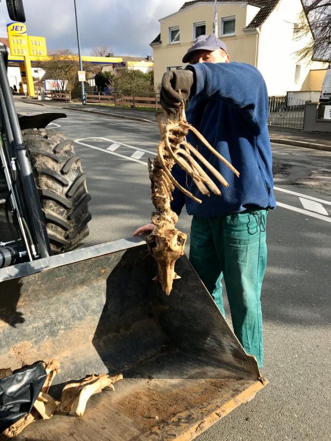 Kuriosester Fund bei der Müllsammlung war dieses Wildschwein-Skelett, das in Hengsen gefunden wurde. (Foto: privat)