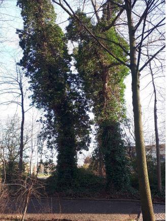 Der Umweltausschuss lehnte den Fällantrag für diese beiden gemeindeeigenen Pappeln ab. (Foto: Gemeinde Holzwickede)
