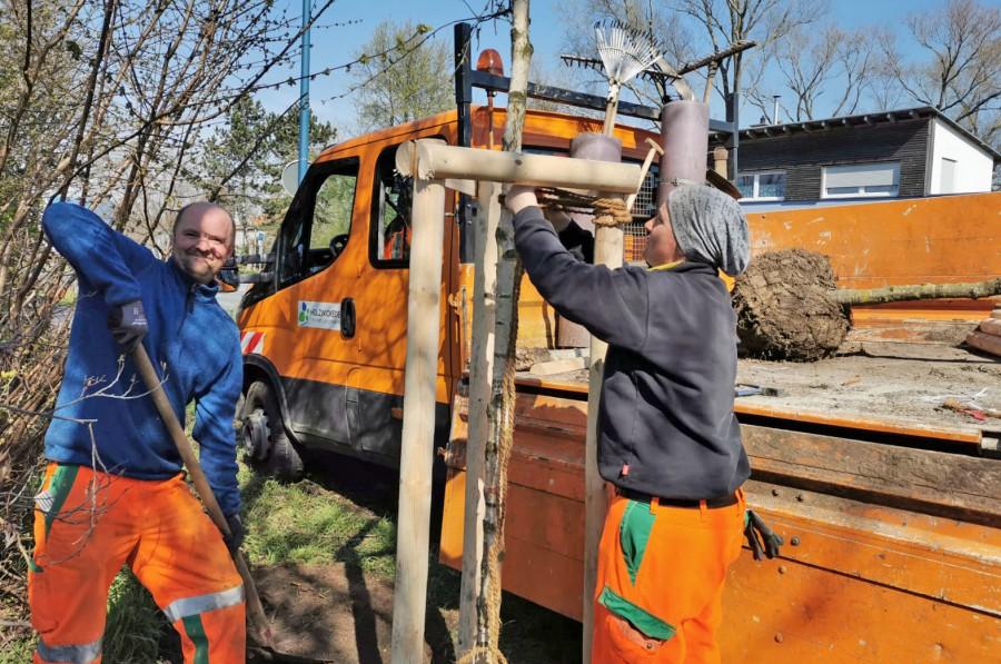Die Mitarbeiter des Baubetriebshofes pflanzen in dieser und der nächsten Woche insgesamt 53 neue Bäume im Gemeindegebiet an. (Foto: Gemeinde Holzwickede)