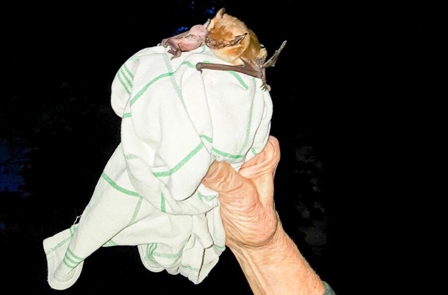 In Kamen holte diese Breitflügel-Fledermaus von einem Tuch in der Hand von Irmgard Devrient ab. (Foto: Rainer Nowak)