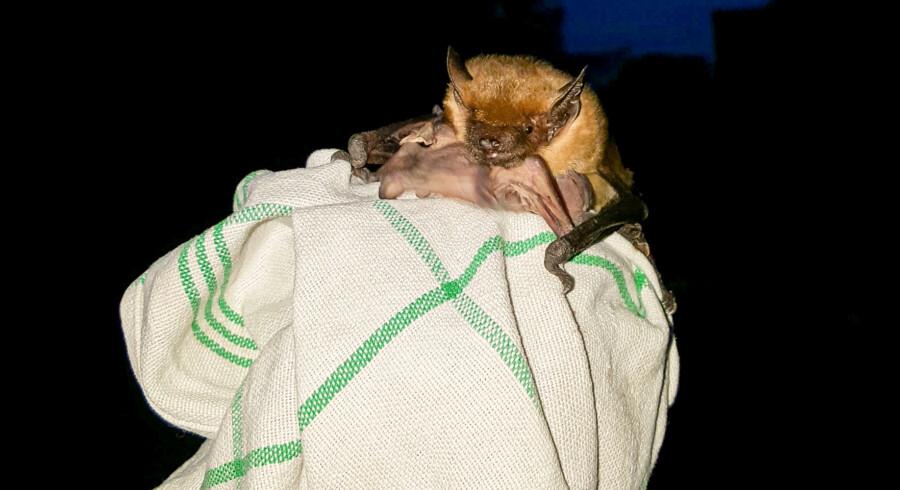 Diese Fledermaus-Mutter hat ihr Junges gerade an ihre Zitze genommen und fliegt wenig mit ihm davon.  (Foto:  Rainer Nowak)
