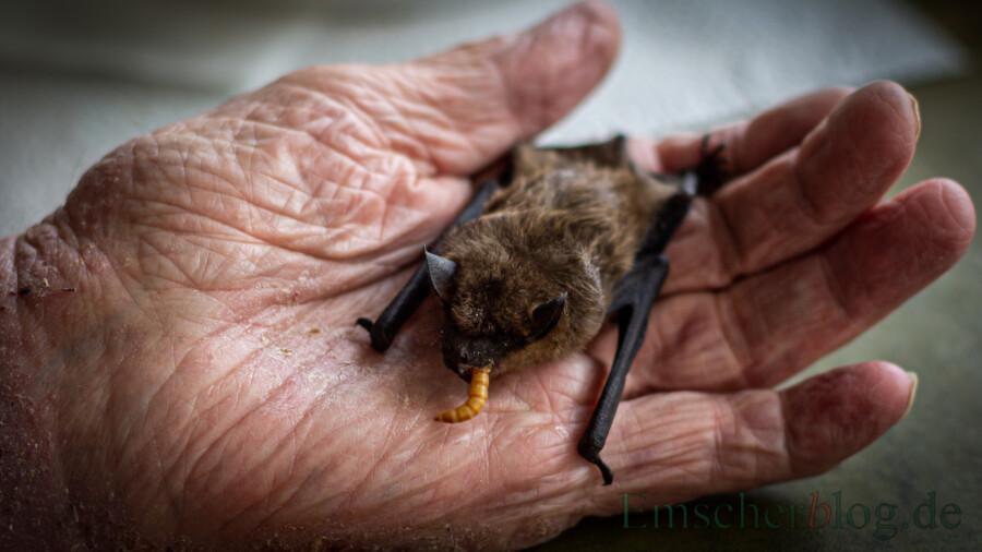 50 Tage werden die Jungtiere gesäugt. Danach gehen sie selbstständig auf die Jagd und ernähren sich von Insekten, wie diese Breitflügel-Fledermaus. (Foto: P. Gräber - Emscherblog)