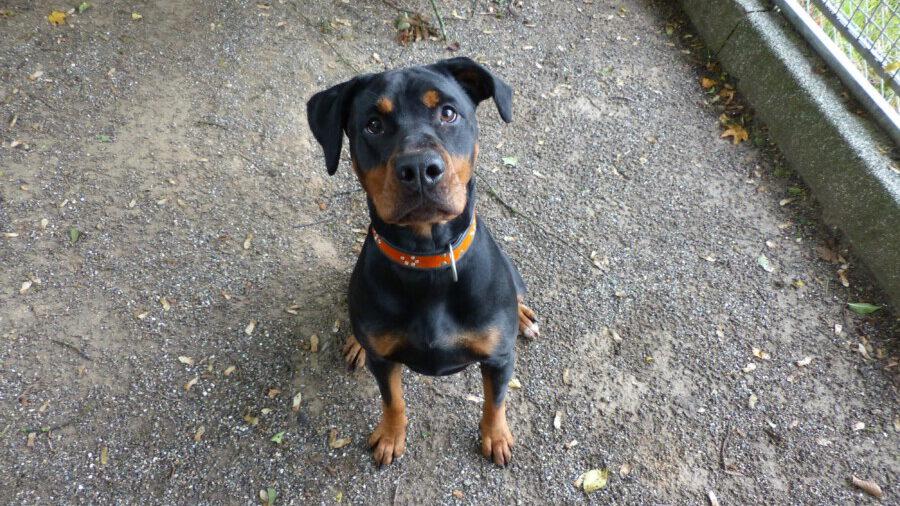 """Die junge Hunde-Dame """"Rita"""" sucht ein neues Zuhause, weil ihre Vorbesitzer leider mit ihr überfordert waren. (Foto: Kreis-Tierheim)"""