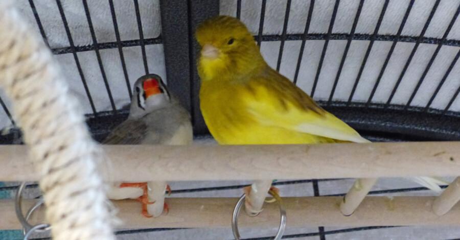 Zwei gefiederte Gestalten auf der Suche:  Dieser Zebrafink (li.) und der Kanarienvogel warten auf liebevolle neue Besitzer. (Foto: Kreis-Tierheim)