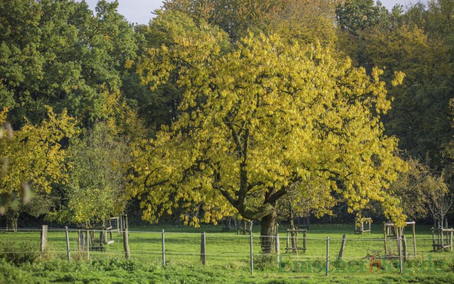 Der Kreis Unna fördert den Erhalt und die Anlage von Streuobstwiesen und gibt Obstbäume kostenlos ab: Streuobstwiese in Opherdicke. (Foto: P. Gräber - Emscherblog)