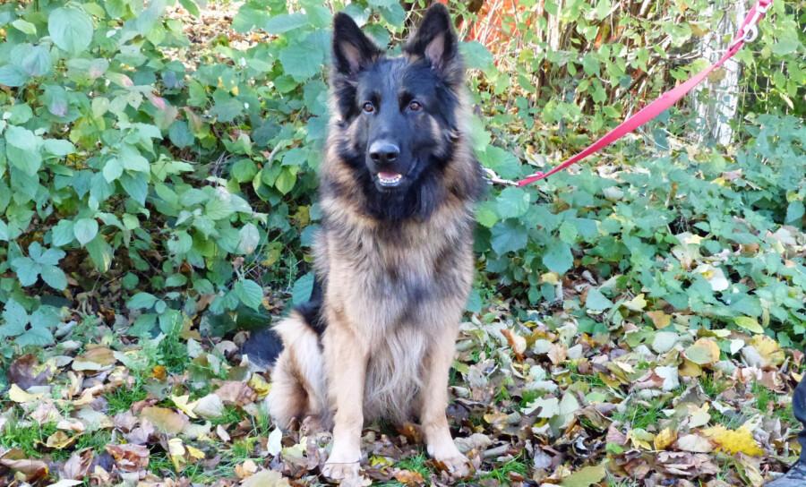 """Thilo"""" ist ein stattlicher Rüde: Der Schäferhund sucht ein neues Zuhause. (Foto: Tierheim Kreis Unna)"""