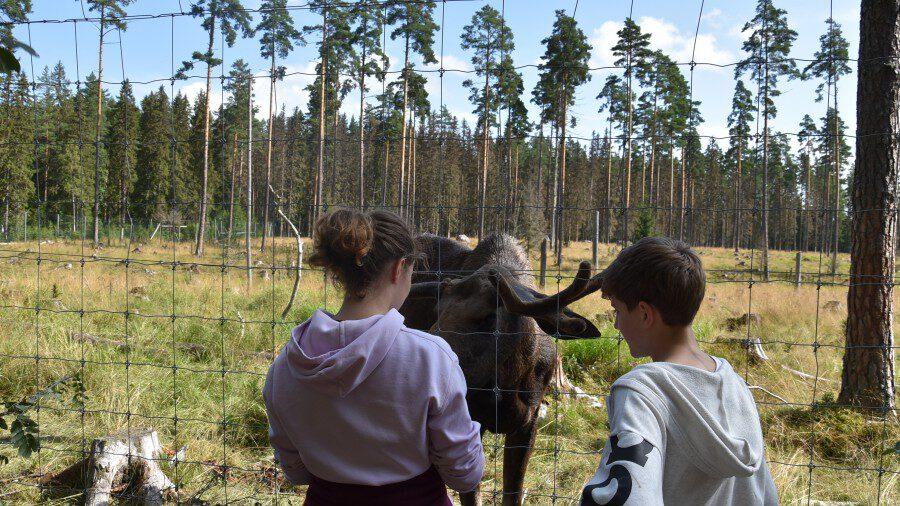 Bei der Schwedenfreizeit im Jahr 2019 durften auch Elche bestaunt und gestreichelt werden.  (Foto: Ev. Jugend)