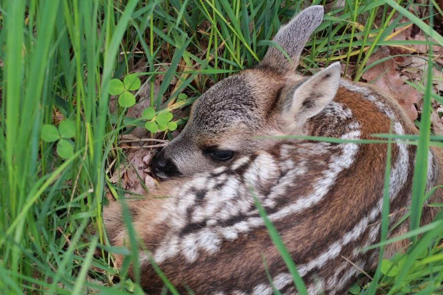 Rehkitze sowie anderes junges Wild sollten Spaziergänger auf keinen Fall anfassen, rät der Dietrioch Junge, Jagdberater des Kreises. (Foto: Sacsha Händle - Pixabay.de)