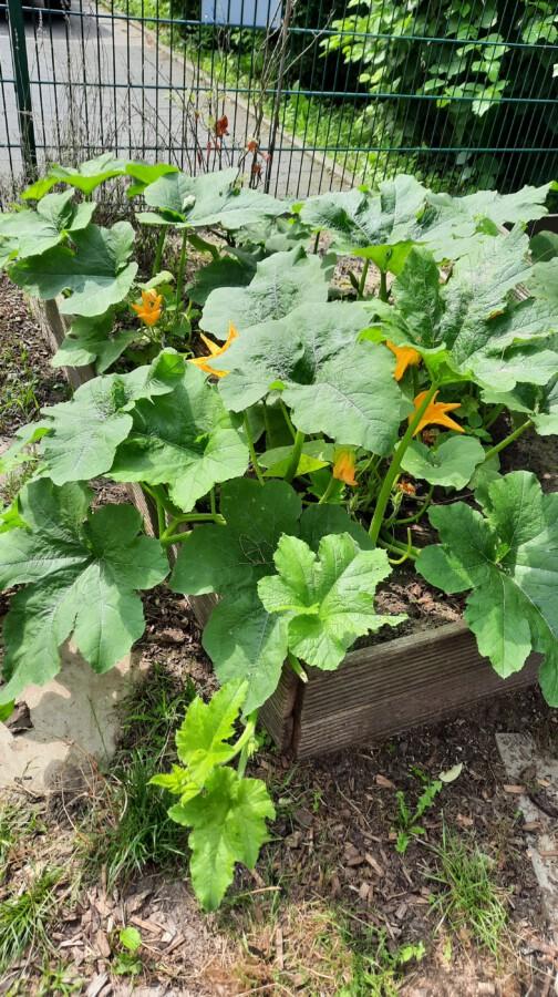 Kühle Temperaturen im Frühjahr, sehr heißte trockene Tage im Juni und der extreme Starkregen im Juli habend en Pflanzen der kleinen Gärtner zu schaffen gemacht: Das Foto zeigt Kürbispflanzen im Wachstum. (Foto: GWA Kreis Unna)